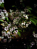 桜?!55.jpg