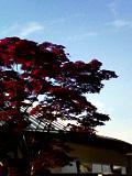 赤紅葉_1637.jpg